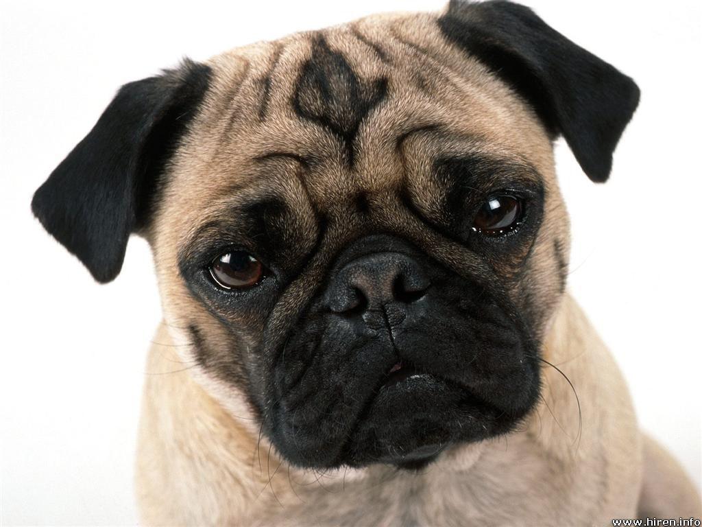 foto cachorro perro raza carlino: